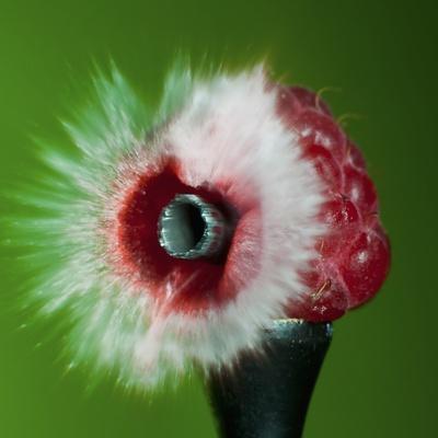 Raspberry Impact Photographic Print by Alan Sailer