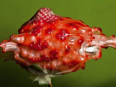 Weird Strawberry Photographic Print by Alan Sailer