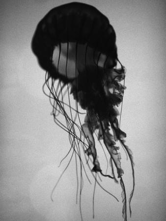 Jellyfish Photographic Print by Henry Horenstein