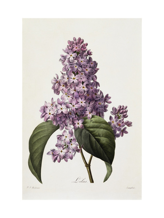 Lilacs Premium Giclee Print by Pierre-Joseph Redouté