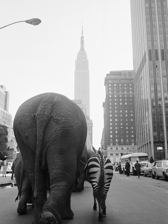 Circus Animals on 33rd Street Photographic Print by  Bettmann