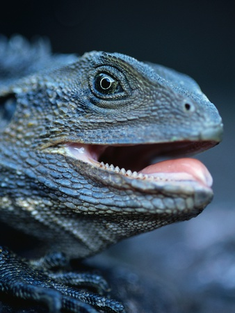 Eastern Water Dragon Photographic Print by Theo Allofs