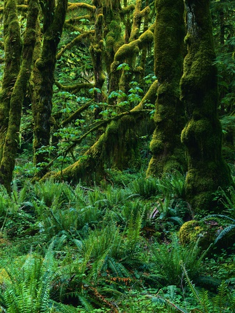 Northwest Temperate Rainforest Fotografie-Druck