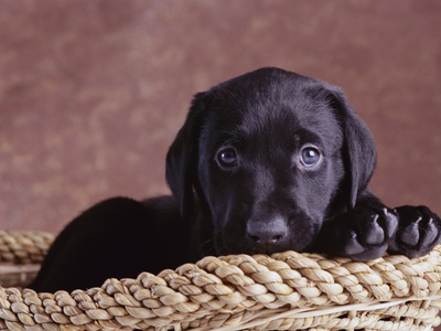 Black Lab Puppy in Basket Photographic Print