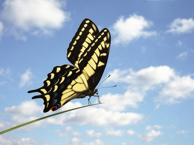 Swallowtail on a Blade of Grass Photographic Print by William Whitehurst