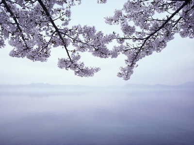 Lake Tazawa and Cherry Blossoms Fotografie-Druck