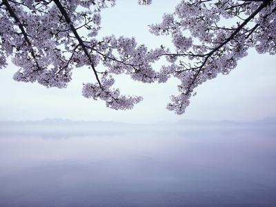 Lake Tazawa and Cherry Blossoms Fotoprint