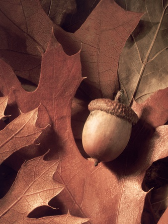 Autumn Acorns and Leaves Photographic Print by William Whitehurst