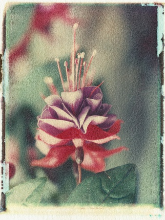 Freesia Flower Photographic Print by Natalie Fobes