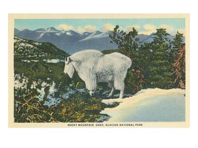 Rocky Mountain Goat, Glacier Park, Montana Affischer