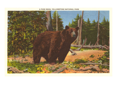 Bear, Yellowstone Park, Montana Prints