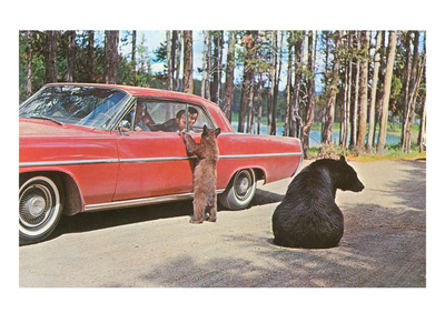 Bears Begging at Car Pósters