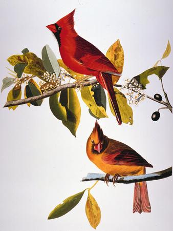 Audubon: Cardinal Premium Giclee Print by John James Audubon