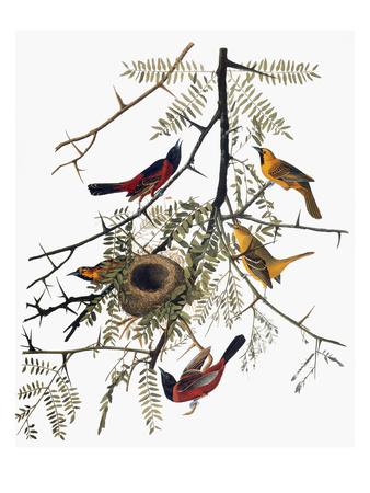 Audubon: Oriole Giclee Print by John James Audubon
