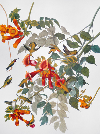 Audubon: Hummingbird Premium Giclee Print by John James Audubon