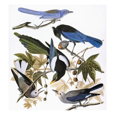 Audubon: Jay And Magpie Giclee Print by John James Audubon