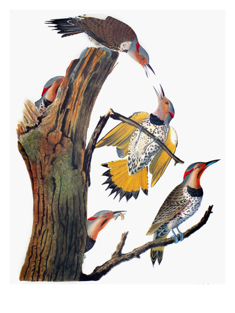 Audubon: Flicker Premium Giclee Print by John James Audubon