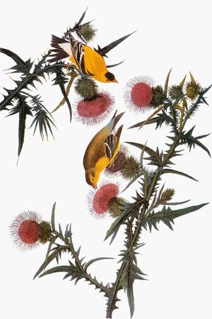 Audubon: Goldfinch Premium Giclee Print by John James Audubon