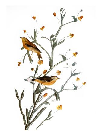 Audubon: Warbler, 1827-38 Giclee Print by John James Audubon