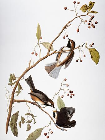 Audubon: Chickadee Premium Giclee Print by John James Audubon