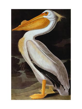 Audubon: Pelican Premium Giclee Print by John James Audubon