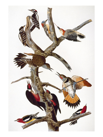 Audubon: Woodpeckers Premium Giclee Print by John James Audubon