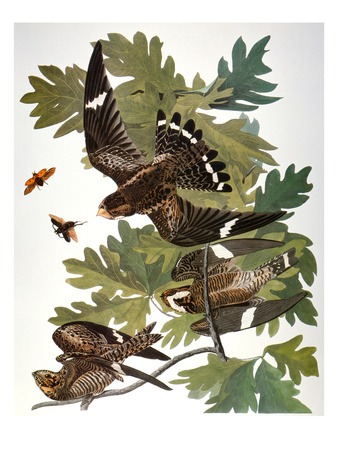 Audubon: Nighthawk Giclee Print by John James Audubon