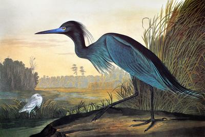 Audubon: Little Blue Heron Premium Giclee Print by John James Audubon