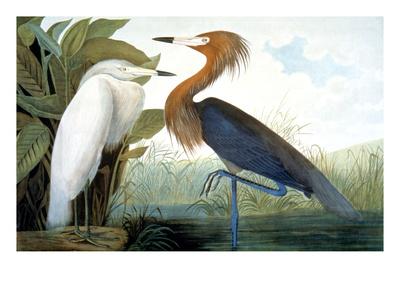 Reddish Egret, Giclee Print by John James Audubon