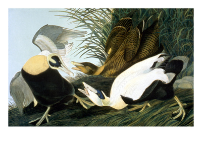 Common Eider, Eider Duck Giclee Print by John James Audubon