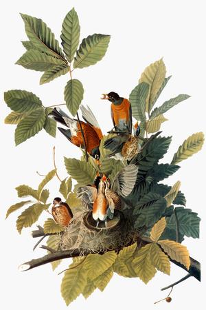 Audubon: Robin Premium Giclee Print by John James Audubon