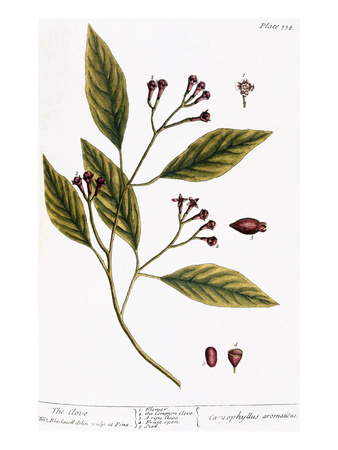 Cloves, 1735 Giclee Print by Elizabeth Blackwell!