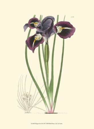 Elegant Iris II Art Print