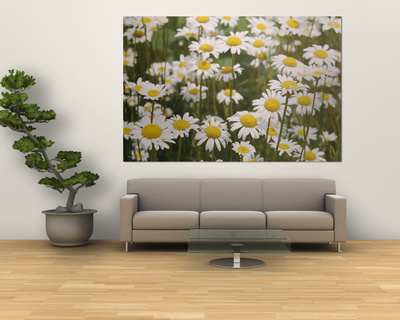 View of a Field of Daisies Poster by Paul Zahl