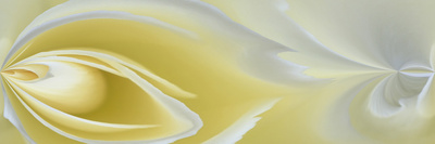 White Rose Close-Up Photographic Print by Adam Jones