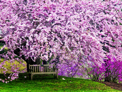 Wooden Bench under Cherry Blossom Tree, cherry blossom photos by Jay O Brien