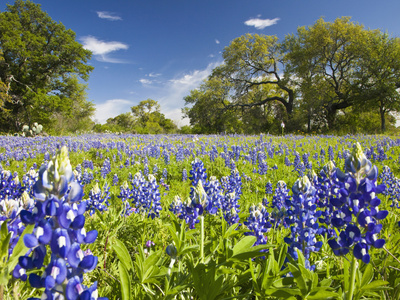 Field of Texas Bluebonnets and Oak Trees, Texas Hill Country, Usa Photographic Print by Julie Eggers