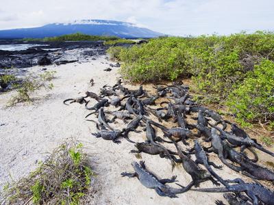 Marine Iguanas (Amblyrhynchus Cristatus), Isla Isabela, Galapagos Islands, Ecuador Photographic Print by Christian Kober