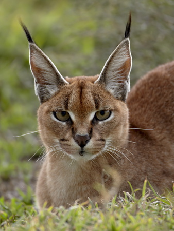 Caracal (Caracal Caracal), Serengeti National Park, Tanzania, East Africa, Africa Photographic Print by James Hager
