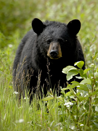 Black Bear (Ursus Americanus), Alaska Highway, British Columbia, Canada, North America Photographie