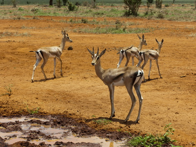 Grant's Gazelle (Gazella Granti), Tsavo East National Park, Kenya, East Africa, Africa Photographic Print