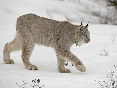 Canadian Lynx (Lynx Canadensis) in Snow in Captivity, Near Bozeman, Montana Photographic Print