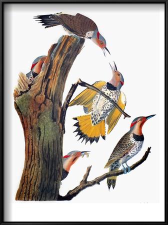 Audubon: Flicker Posters by John James Audubon