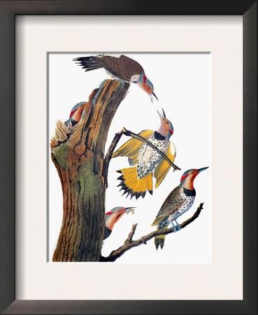 Audubon: Flicker Framed Giclee Print by John James Audubon