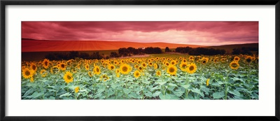 Sunflowers, Corbada, Spain Framed Photographic Print