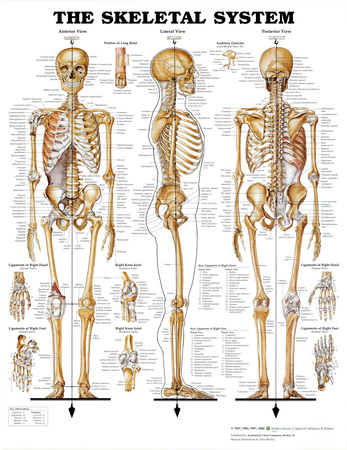 The Skeletal System Anatomical Chart Poster Print Plakát
