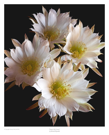 Easter Lily Cactus Posters by Richard Reynolds
