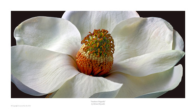 Southern Magnolia Tree Prints by Richard Reynolds