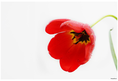 Tulip (Red, Morning Dew) Art Poster Print Posters