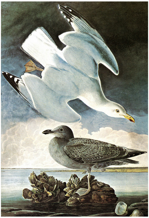 Audubon Herring Gull and Black Duck Bird Art Poster Print Prints